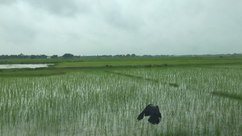 Rice country